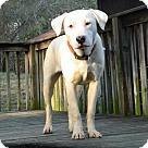 Adopt A Pet :: Bruiser - Reduced Fee $350