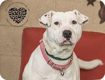 Shar Pei/Pit Bull Terrier Mix Dog for adoption in Inglewood, California - Gia