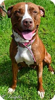 American Pit Bull Terrier Mix Dog for adoption in Rome, New York - Cocoa