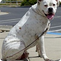 Adopt A Pet :: * BRUTUS* - Pleasanton, CA