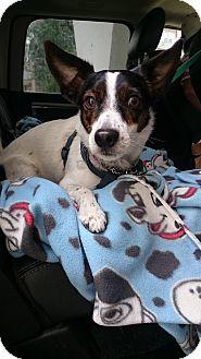 Feist Dog for adoption in Toronto/GTA, Ontario - FRANKIE