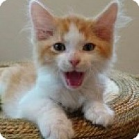 Adopt A Pet :: Butterscotch - McHenry, IL