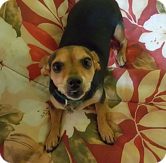 Chihuahua/Dachshund Mix Dog for adoption in Huntsville, Alabama - Priscilla