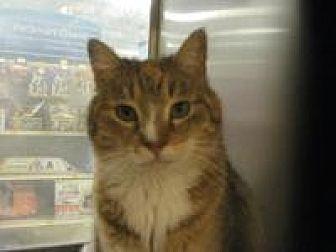 Domestic Shorthair Cat for adoption in Logan, Utah - Scarlett