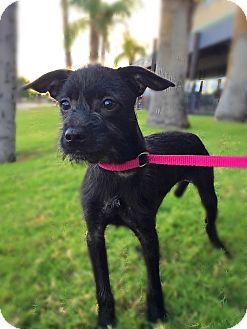 Schnauzer (Miniature)/Chihuahua Mix Puppy for adoption in Scottsdale, Arizona - Wendy