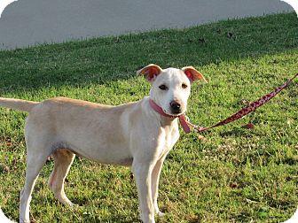 Labrador Retriever Mix Puppy for adoption in Broken Arrow, Oklahoma - Petunia