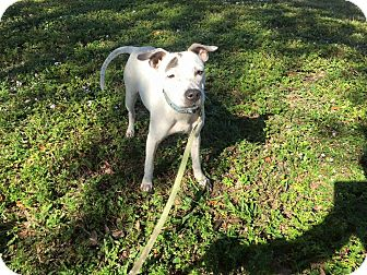 Labrador Retriever/American Pit Bull Terrier Mix Dog for adoption in Pompano Beach, Florida - Lexi