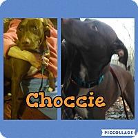 Adopt A Pet :: Choccie - Cranston, RI