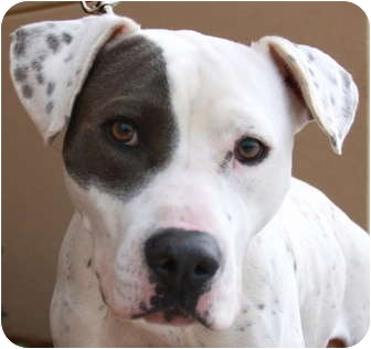 Roxy | Adopted Dog | Atlanta, GA | American Bulldog ...