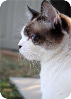 Siamese Cat for adoption in Palmdale, California - Tobie