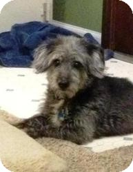 Dachshund/Poodle (Miniature) Mix Dog for adoption in Shawnee Mission, Kansas - Merle Haggard