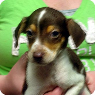 Beagle/Feist Mix Puppy for adoption in baltimore, Maryland - Colby
