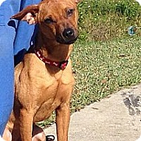 Adopt A Pet :: Rusty - St. Petersburg, FL