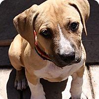 Adopt A Pet :: 'ABBEY' - Brooksville, FL