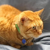 Adopt A Pet :: Ginger Joe - Winston-Salem, NC