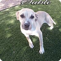 Adopt A Pet :: Sable - Las Vegas, NV