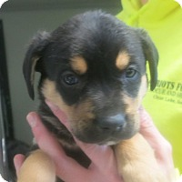 Adopt A Pet :: Belle - Clear Lake, IA