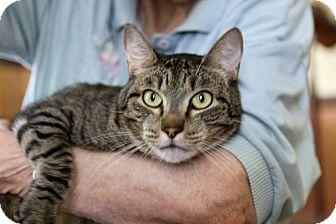 American Shorthair Cat for adoption in Hillsboro, Illinois - Prince