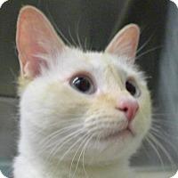 Domestic Shorthair Cat for adoption in New York, New York - Stevie