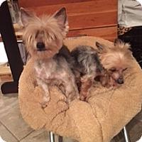 Yorkie, Yorkshire Terrier Dog for adoption in N. Babylon, New York - Chloe & Toto