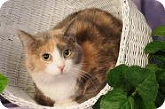 Calico Cat for adoption in mishawaka, Indiana - Snickers