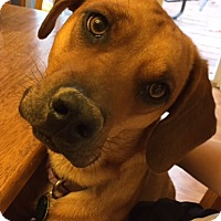 Adopt A Pet :: Penny - O'Fallon, MO