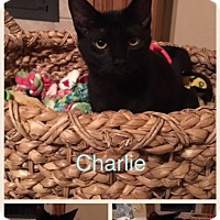 Domestic Shorthair Kitten for adoption in Garland, Texas - Charlie (#1)