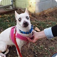 Chihuahua Mix Dog for adoption in Whitehall, Pennsylvania - Cristal