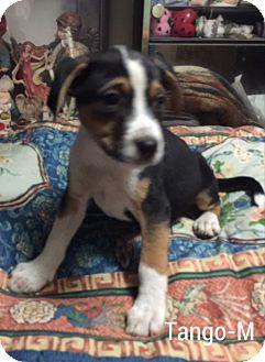Labrador Retriever Mix Puppy for adoption in Albany, New York - Tango