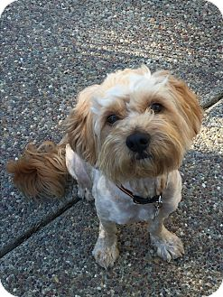 Cockapoo Mix Dog for adoption in Pleasanton, California - Marley - adoption pending