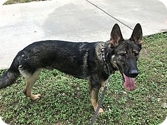 German Shepherd Dog Mix Dog for adoption in Manor, Texas - Tabor