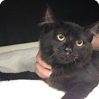 Adopt A Pet :: Figaro: Stunning Maine Coon Mix Beauty - Brooklyn, NY