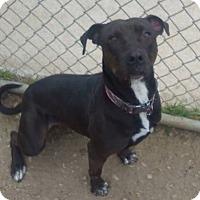 Adopt A Pet :: Gigi - Richland Hills, TX