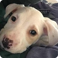Adopt A Pet :: Carly - located in NH - Trenton, NJ