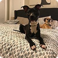 Adopt A Pet :: Charlie - oklahoma city, OK