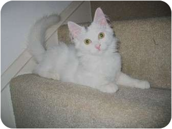 Domestic Mediumhair Kitten for adoption in Cincinnati, Ohio - Sugar Bear