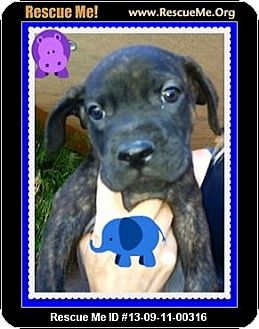 Boxer/Labrador Retriever Mix Puppy for adoption in Scottsdale, Arizona - Guy