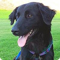 Adopt A Pet :: *Lexi (Black Golden) - PENDING - Westport, CT