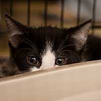 Adopt A Pet :: Alfonso - Morgan Hill, CA