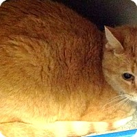 Adopt A Pet :: Nemo (declaw) - Chattanooga, TN