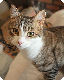 Domestic Shorthair Cat for adoption in Central Islip, New York - Maria