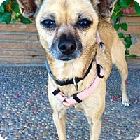 Chihuahua Mix Dog for adoption in Santa Cruz, California - Sammie