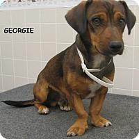 Adopt A Pet :: Georgie - San Francisco, CA