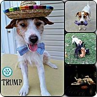 Adopt A Pet :: Trump - Kimberton, PA
