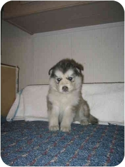 Malamute Pups | Adopted Puppy | Southern California, CA ...