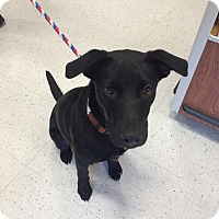 Adopt A Pet :: Woodie in CT - Manchester, CT