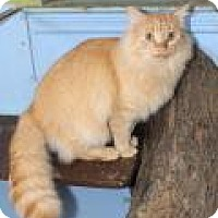 Maine Coon Cat for adoption in Memphis, Tennessee - Fozzy