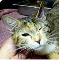 Calico Cat for adoption in Springdale, Arkansas - Pretzel