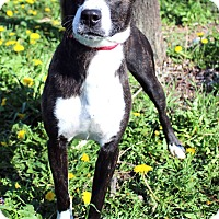 Adopt A Pet :: Abbey - Westminster, CO