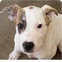 Adopt A Pet :: Cuzco - Springdale, AR